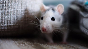 How Should You Clean up Mice Droppings?
