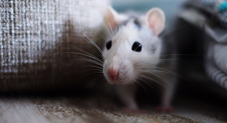 should-clean-up-mice-droppings