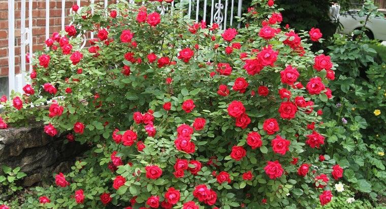 should-fertilize-knockout-roses