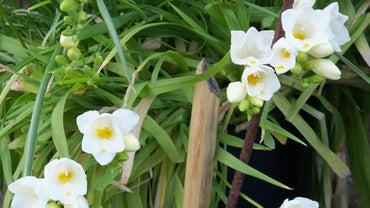 When Should I Plant Freesia Bulbs?