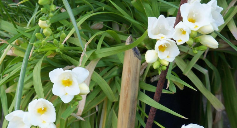 should-plant-freesia-bulbs