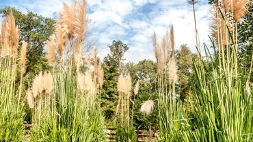 When Should You Plant Pampas Grass?