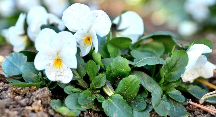 should-plant-winter-flowering-pansies