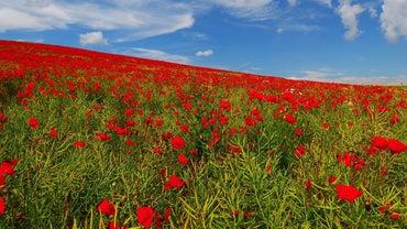 Should Poppies Be Deadheaded?