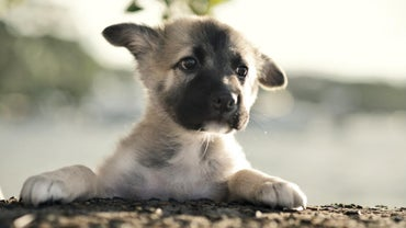 How Should You Raise Baby German Shepherds?