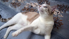 Are Siamese Mix Cats Good Pets?