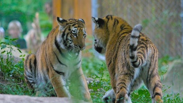 What Do Siberian Tigers Look Like?