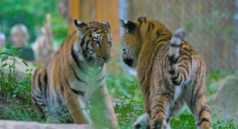 siberian-tigers-look-like