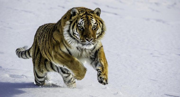 siberian-tigers