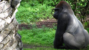 What Do Silverback Gorillas Eat?