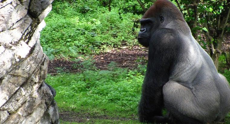 silverback-gorillas-eat
