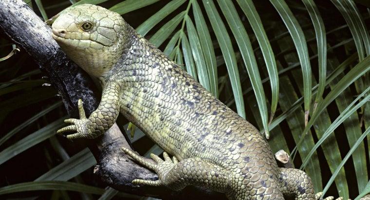 skink-lizard-eat