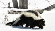 What Is a Skunk's Habitat?