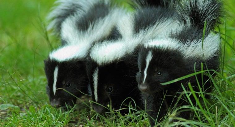 skunks-black-white