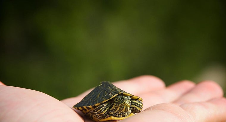 smallest-kind-turtle