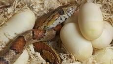 How Do Snakes Lay Eggs?