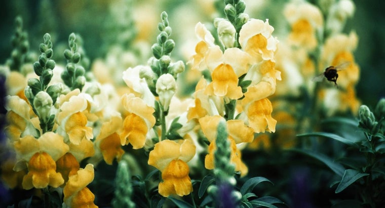 snapdragons-bloom