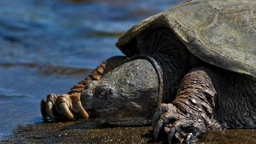 Do Snapping Turtles Bite?