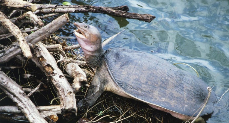 soft-shelled-turtles-eat