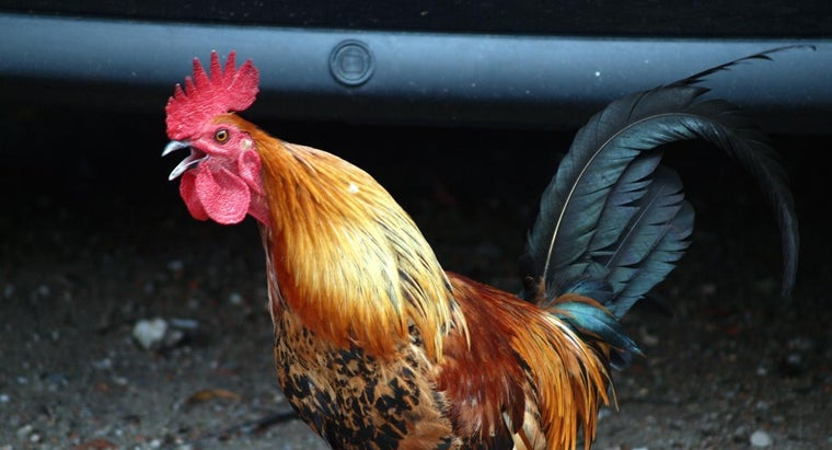 sound-chicken-make
