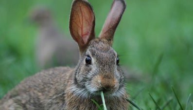 What Sound Does a Rabbit Make?