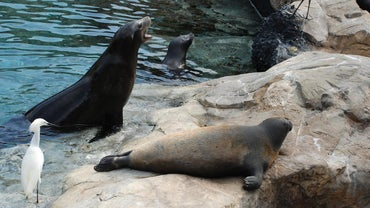 What Sound Does a Seal Make?