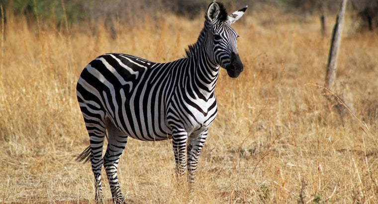 What Sound Does a Zebra Make? | Reference com