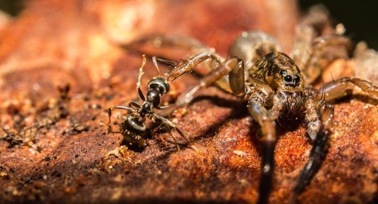 spiders-eat-ants