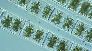 How Do Spirogyra Reproduce?