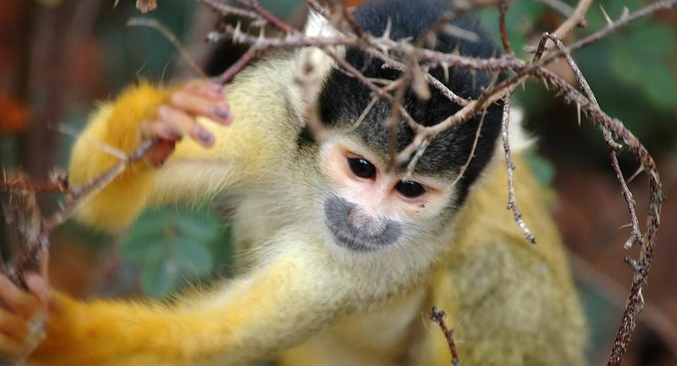 squirrel-monkey-protect-itself