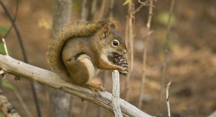 squirrels-eat-pine-cones