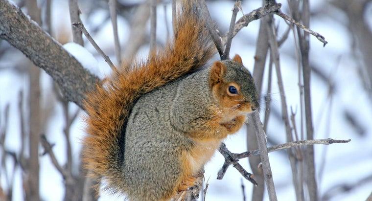 squirrels-winter