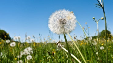 What Are the Stages of a Dandelion?