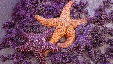 How Do Starfish Mate?
