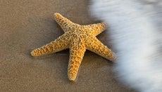 How Do Starfish Reproduce?