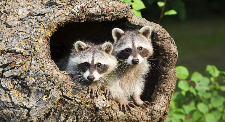 Are There Any States Where It Is Legal to Have a Pet Raccoon