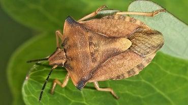 When Is Stink Bug Season?