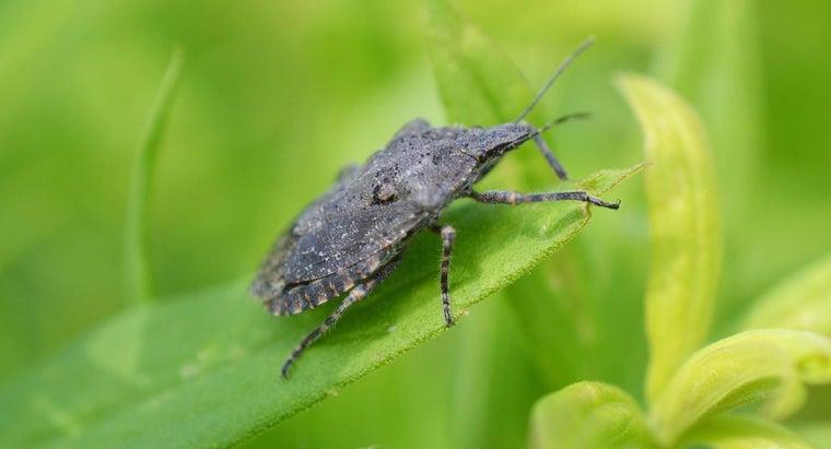 stink-bugs-bite