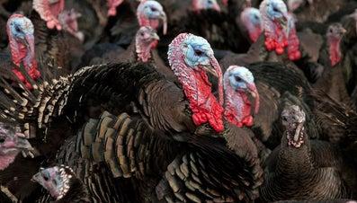 Do All Turkeys Gobble?