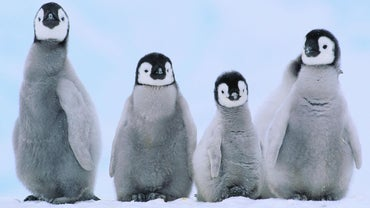 What Are Baby Penguins Called?