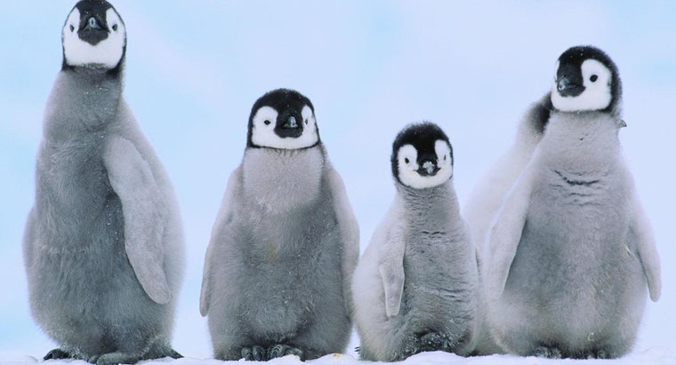baby-penguins-called