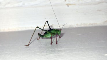 How Do You Stop Crickets From Chirping?