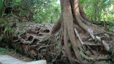 Do Storms Make Trees Take Deeper Roots?