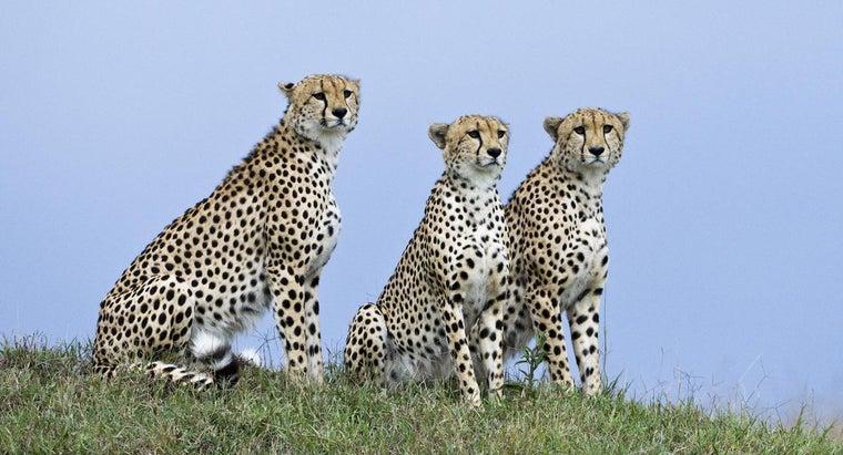 structural-adaptations-cheetah