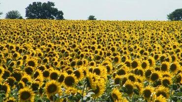 How Do Sunflowers Disperse Their Seeds?