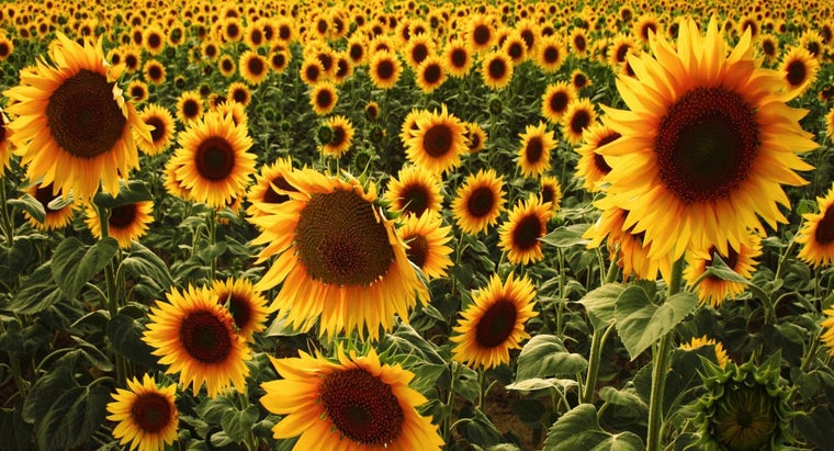 sunflowers-used