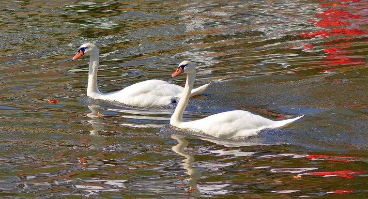 swans-live