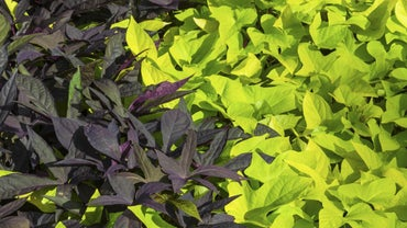 Are Sweet Potato Vines Perennials?