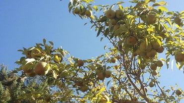 What Is the Symbolism of a Pear Tree?