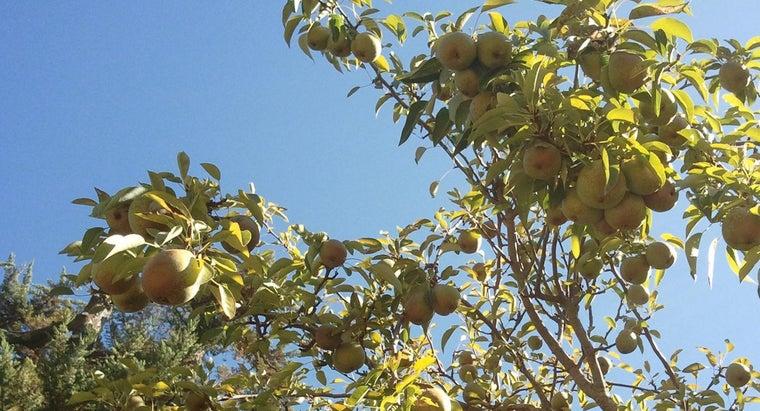 symbolism-pear-tree